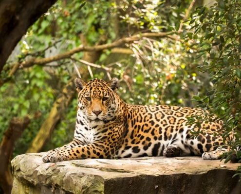A beautiful jaguar lying down on a rock with the jungle behind it.